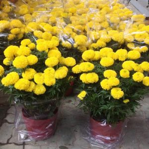 2-pots-of-marigold-flowers