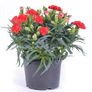 2 pots of red carnation