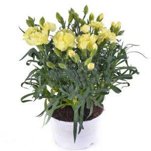 2 pots of yellow carnation
