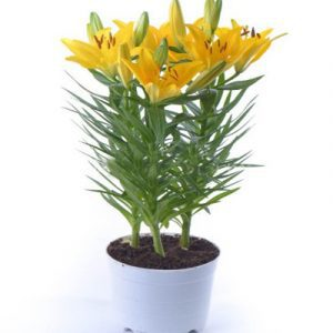 2 pots of yellow lilies