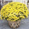 2 Pots Of Yellow Mum Chrysanthemum
