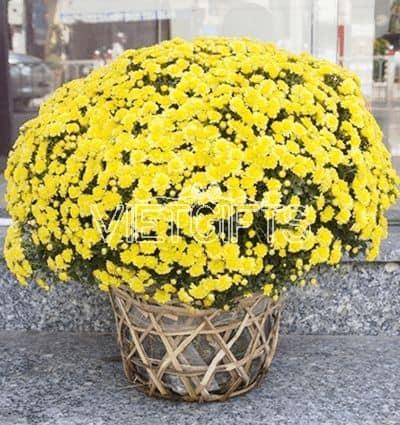 2-pots-of-yellow-mum-chrysanthemum