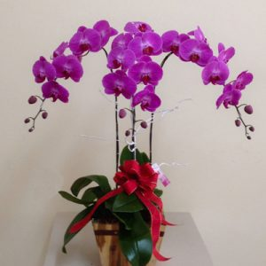 Potted Orchids For Tet 03