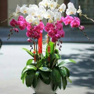 Potted Orchids For Tet 08