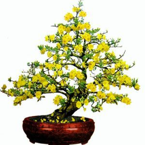 aprocot blossom 12