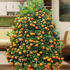 kumquat 01