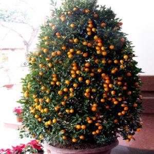 kumquat 03
