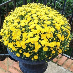 yellow mum chrysanthemum