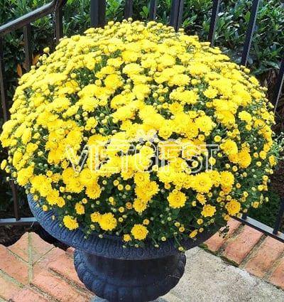 yellow mum chrysanthemum