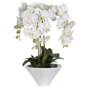 potted white orchid 04 branches