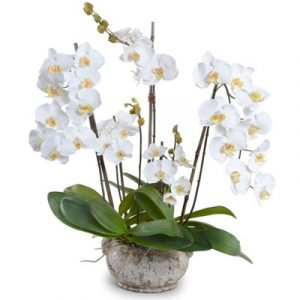 potted white orchid 05 branches