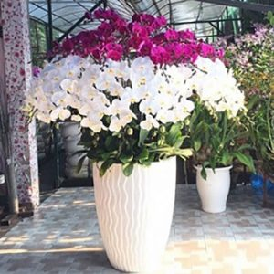 special potted orchids 04