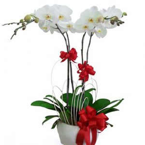 Women's Day Potted Orchids 01