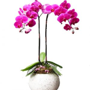 Women's Day Orchids Potted 02