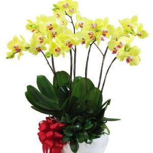 Women's Day Orchids Potted 04
