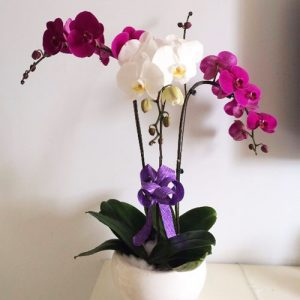 Women's Day Orchids Potted 12